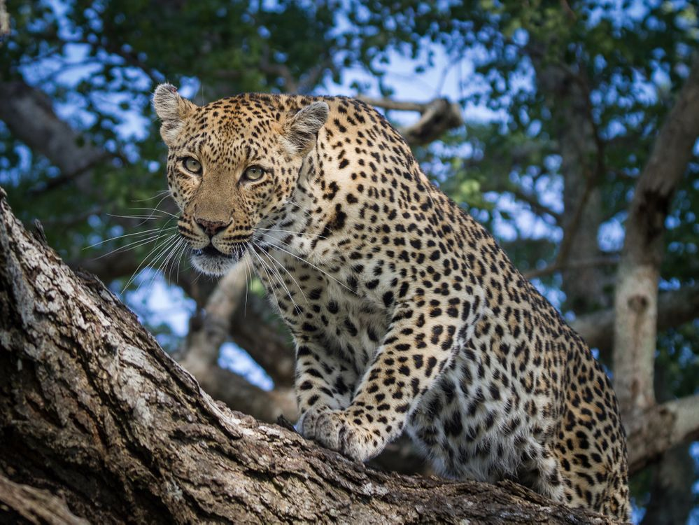 Фото бесплатно Leopard in tree, заметил добычу, взгляд - на рабочий стол