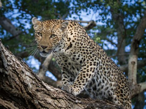 Photo free Leopard in tree, I noticed the booty, look