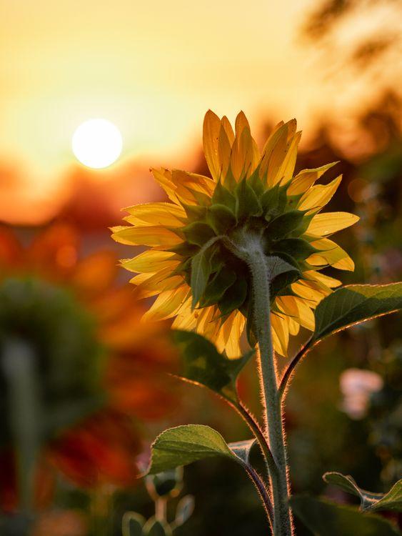 Фото бесплатно цветок, свет, природа, стебель, подсолнух, солнце, утро, восход, цветы