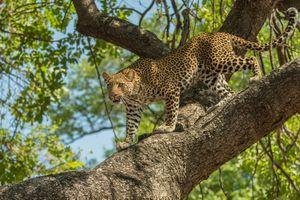 Фото бесплатно большая кошка, животное, дерево