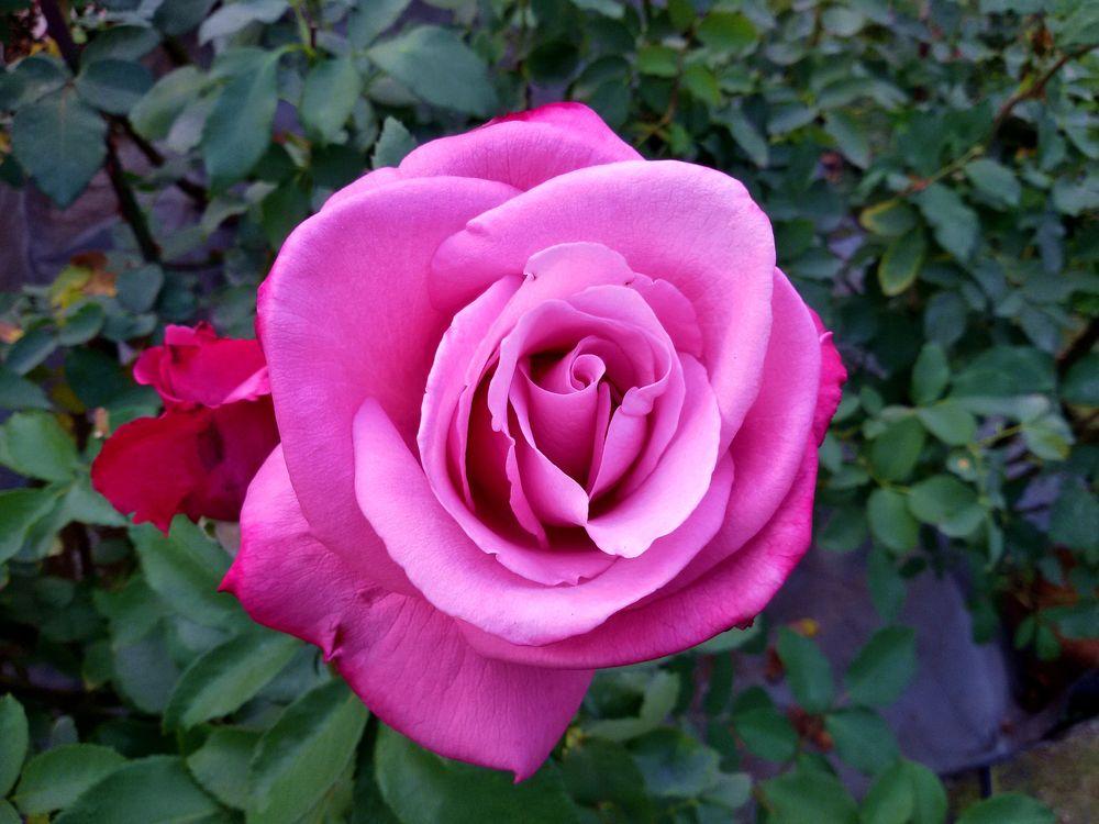 Фото бесплатно фиолетовые розы, роза, флора - на рабочий стол