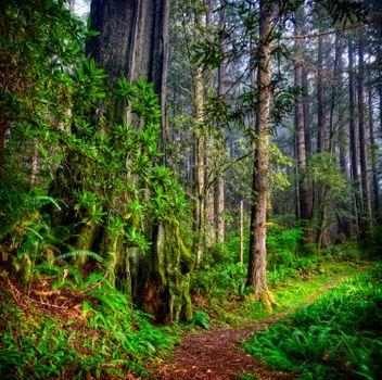 Фото бесплатно дорожка, деревья, Редвуд Национальный парк