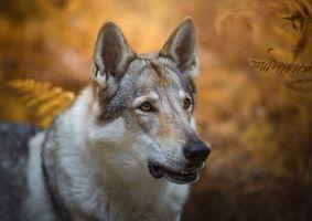Взгляд волчьей собаки