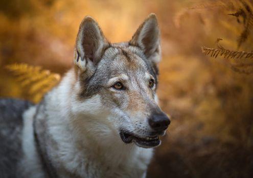Взгляд волчьей собаки · бесплатное фото
