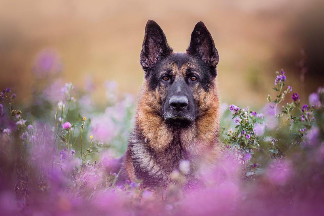 Немецкая овчарка в цветах · бесплатное фото