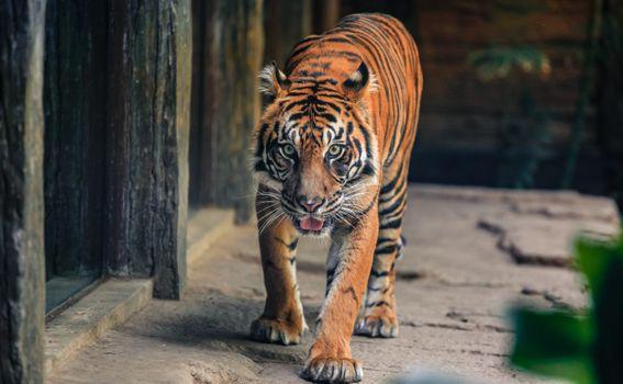 Фото бесплатно хищник, Взятые в Сан-Диего Сафари-парк, большая кошка