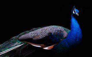 Бесплатные фото Peacock,bird,wonderful