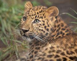 Обои с леопардом · бесплатное фото