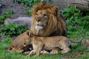 Бесплатные фото cat,cub,lion,simba
