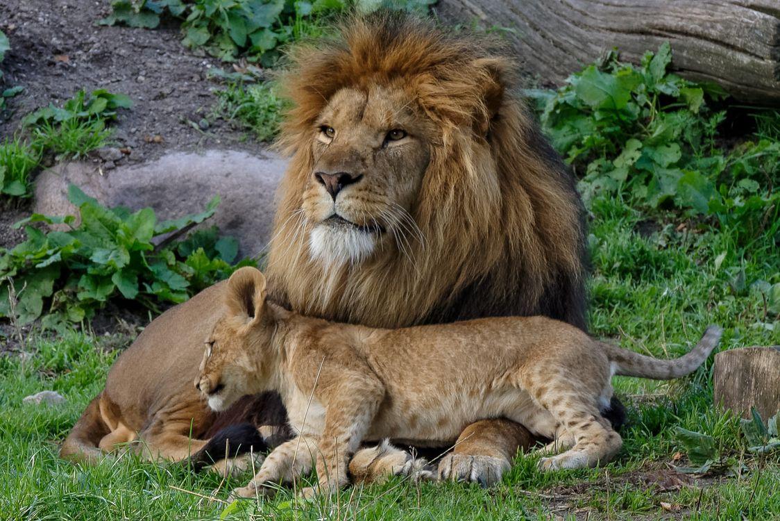 Фото бесплатно cat, cub, lion - на рабочий стол