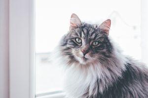 Заставки кот, величественный, пушистый