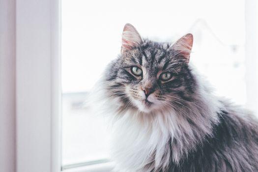 Фото бесплатно кот, величественный, пушистый