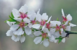Cherry branch · free photo
