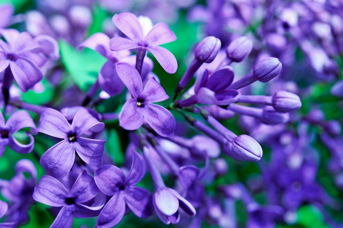 Сиреневые цветы · бесплатная заставка