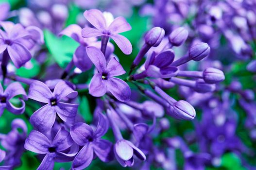 Purple flowers · free photo