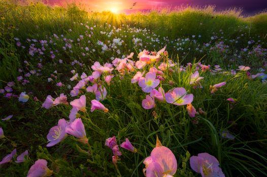 Фото бесплатно цветочное поле, закат, цветы