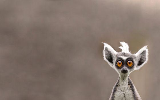 Photo free lemur, face, funny