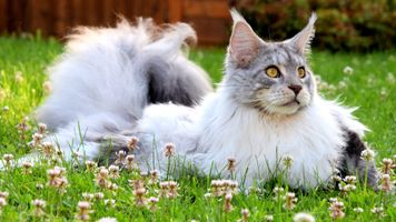 Роскошный мейн-кун на лужайке