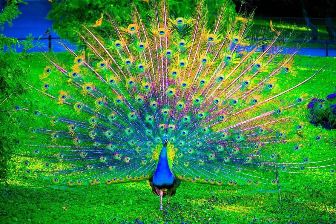 Фото бесплатно nature, grass, bird, peacock, павлин, трава, птицы