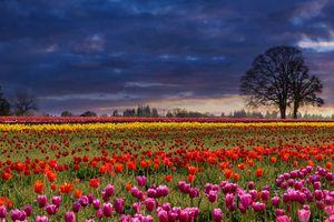 Фото бесплатно поле, закат, цветы, тюльпаны, небо, облака, флора, пейзаж