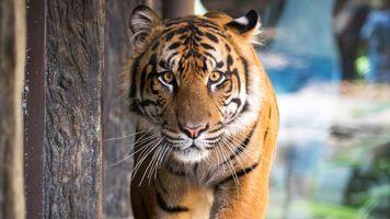 Крадущийся тигр · бесплатное фото