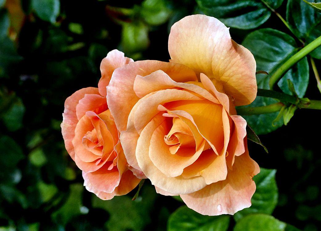 Две оранжевых розочки · бесплатное фото