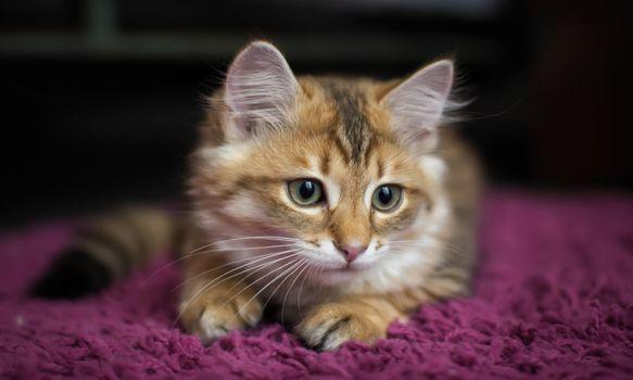 Фото бесплатно котенок, взгляд, поза
