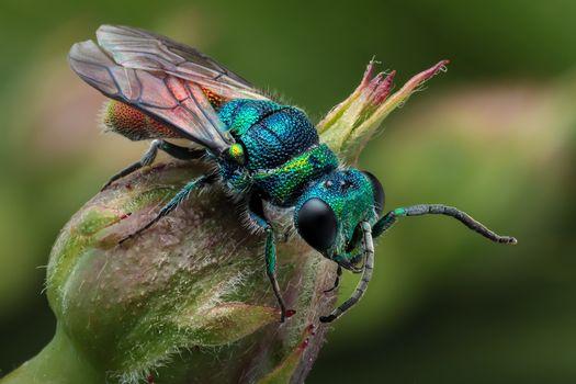 Фото бесплатно Эти красиво окрашенные крошечные осы, 6-7 мм, осы кукушки