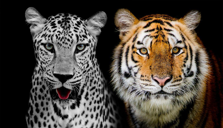 леопард и тигр · бесплатное фото