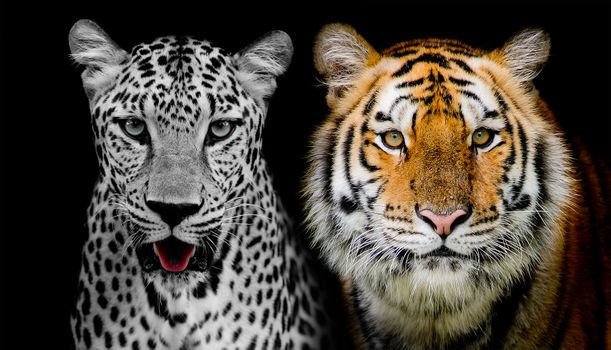 leopard and tiger · free photo