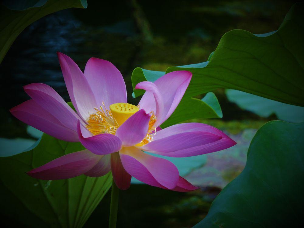 Фото бесплатно Lotus, лотос, лотосы, водоём, цветы, цветок, флора, водяная красавица, красивый цветок, красивые цветы, цветы