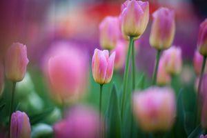 Бесплатная заставка флора, тюльпаны