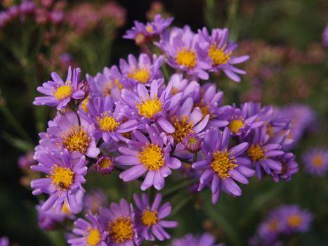 Photo free flora, flowers, Astra Tatar