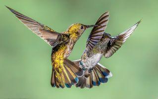 Бесплатные фото колибри,макро,hummingbirds,Costa Rica,птицы,полет,крылья