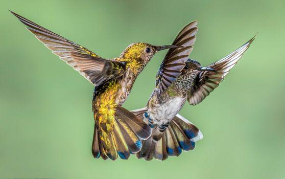 Photo free hummingbirds close up, hummingbirds, Costa Rica