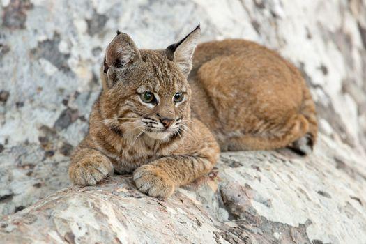 Заставки детеныш рыси, Bobcat, Kitten