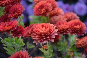 Фото бесплатно хризантема, флора, цветы