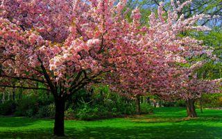 Фото бесплатно cherry blossom, деревья, газоны