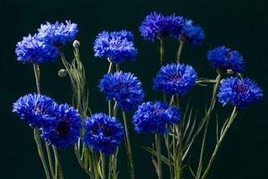Фото бесплатно Васильки, цветы, букет