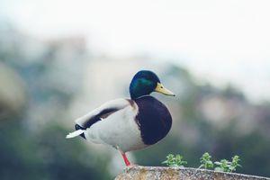 Фото бесплатно утка, кряква, стоя