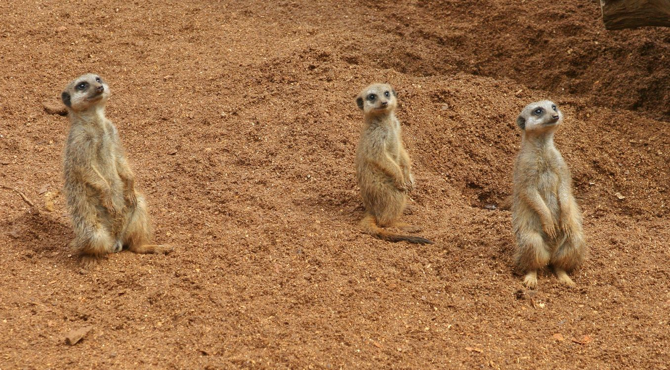 Фото бесплатно meerkat, suricate, территория сурикатов - на рабочий стол