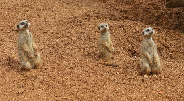 Бесплатные фото meerkat,suricate,территория сурикатов,suricata,suricatta,сурикаты,сурикат,meerkat family,животные