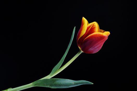 Фото бесплатно цветок, тюльпан, красный
