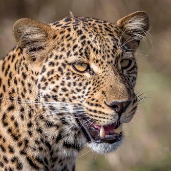 Заставки леопард, фотопортрет, животное