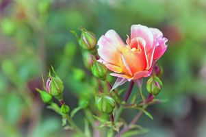 Заставки роза, ветка, бутоны