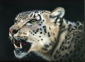 Бесплатные фото snow leopard,дикая кошка,морда,взгляд,оскал,леопард,животное