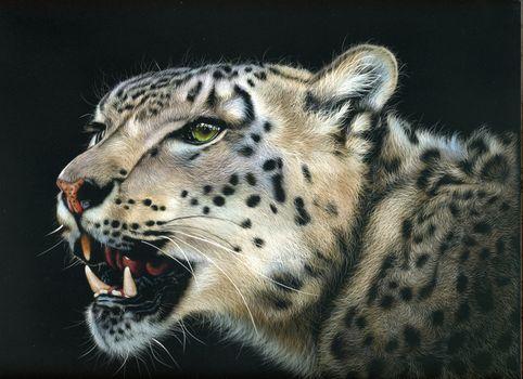 Photo free snow leopard, wild cat, muzzle
