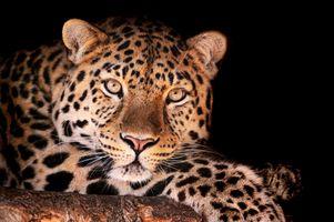 Заставки леопард, хищник, морда