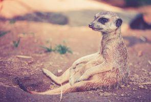 Фото бесплатно meerkat, сидит о норы, suricate