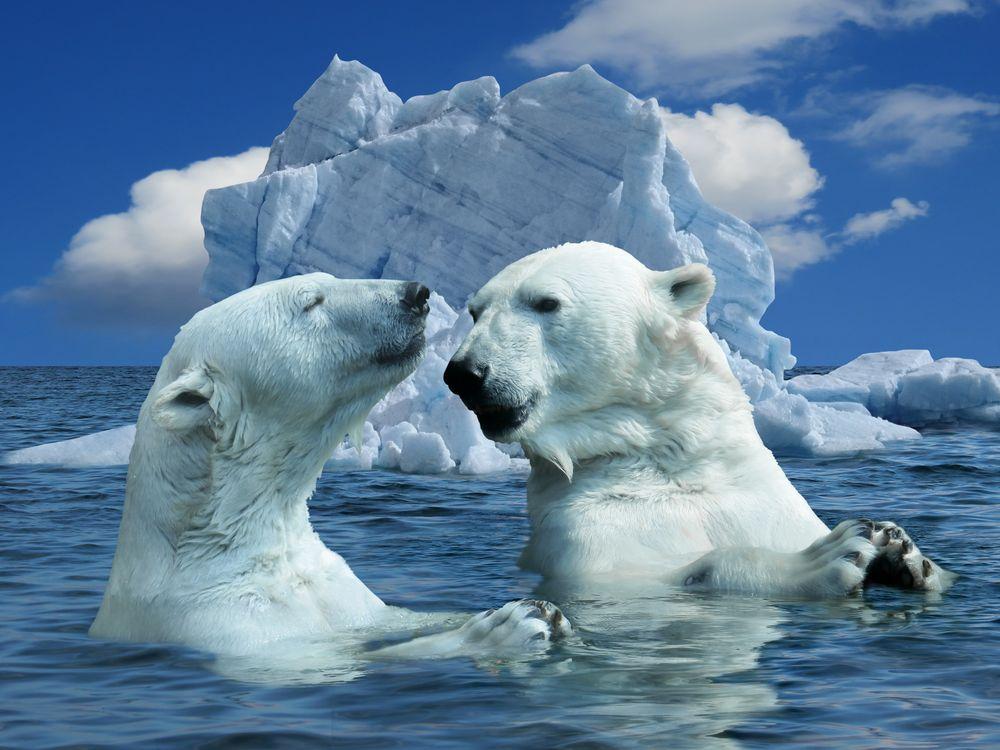 Фото бесплатно природа, белый медведь, полярный медведь, животные, медведь, хищник, океан, вод, морозная, льда, море, айсберг, изменение климата, расплава, северный полюс, животные